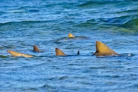 Baia cheio de tubaroes limao